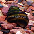 Photo Japanese Trapdoor Snail (Pond) description