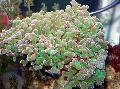Buy online green Aquarium Hammer Coral (Torch Coral, Frogspawn Coral) / Euphyllia Photo