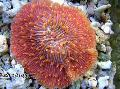 Buy online red Aquarium Plate Coral (Mushroom Coral) / Fungia Photo