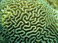 Photo Platygyra Coral  description