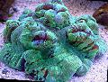 Photo Brain Dome Coral  characteristics