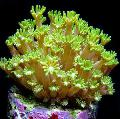 Photo Alveopora Coral  description