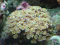 Photo Organ Pipe Coral  characteristics