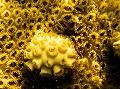 Photo White Encrusting Zoanthid (Caribbean Sea Mat) polyp description