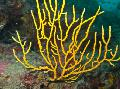 Photo Gorgonia sea fans description