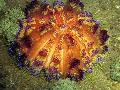 Photo Fire Urchin  characteristics