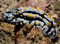 Photo Varicose Phyllidia sea slugs characteristics
