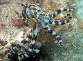 Photo Blue Ringed Octopus clams description