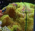 Buy online yellow Aquarium Sea Invertebrates Giant Carpet Anemone / Stichodactyla gigantea Photo