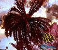 Photo Comanthus comanthina characteristics