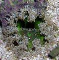 Buy online grey Aquarium Sea Invertebrates Rock Flower Anemone / Epicystis crucifer Photo