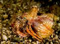 Photo Anemone Hermit Crab lobsters characteristics