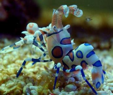 acheter en ligne marron aquarium mer invert 233 br 233 s crevettes arlequin clown orchid 233 e blanche