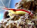 Indo-Pacific White Banded Cleaner Shrimp