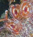 Photo Split-Crown Feather Duster fan worms description