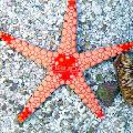 Photo Red Starfish  description