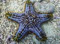 Photo Choc Chip (Knob) Sea Star  description