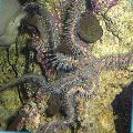 Photo Red Brittle Star (Brittle Sea Star, Knobby Fancy)  description