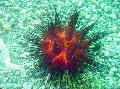 Photo Longspine Urchin  description