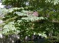 Buy online lilac Garden Flowers Japanese angelica tree / Aralia Photo