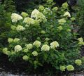 Photo Panicle Hydrangea, Tree Hydrangea description