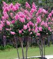 Photo Crape Myrtle, Crepe Myrtle description