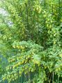 Buy online yellow Garden Flowers Barberry / Berberis Photo