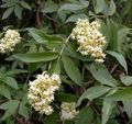 Buy online white Garden Flowers Common elder, Red-berried elder / Sambucus Photo
