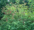Buy online red Garden Flowers Common elder, Red-berried elder / Sambucus Photo