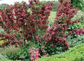 Buy online red Garden Flowers Weigela Photo