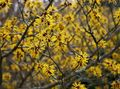 Buy online yellow Garden Flowers Witchhazel / Hamamelis vernalis Photo