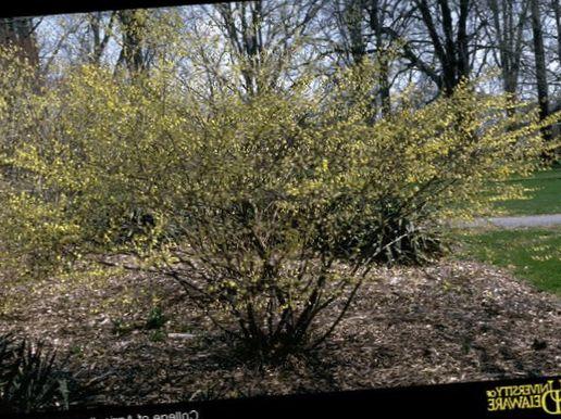 Köpa uppkopplad Trädgård Blommor Vinter Hassel, Corylopsis Fil ...