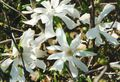 Buy online white Garden Flowers Magnolia Photo