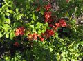 Buy online red Flowering quince / Chaenomeles-maulei Photo