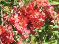 Buy online red Garden Flowers Quince / Chaenomeles-japonica Photo