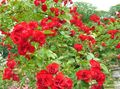 rot Gartenblumen Rose Bodendecker / Rose-Ground-Cover Foto