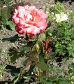 Photo Hybrid Tea Rose description