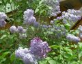 Photo Common Lilac, French Lilac description