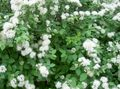 Photo Spirea, Bridal's Veil, Maybush description