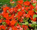 Buy online red Common Periwinkle, Creeping Myrtle, Flower-of-Death / Vinca minor Photo