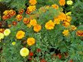 Buy online orange Garden Flowers Marigold / Tagetes Photo
