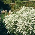 Buy online white Garden Flowers Bolton's Aster, White Doll's Daisy, False Aster, False Chamomile / Boltonia asteroides Photo