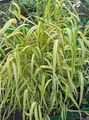 Buy online green Garden Flowers Bowles Golden Grass, Golden Millet Grass, Golden Wood Mille / Milium effusum Photo