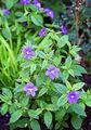 light blue Bush Violet, Sapphire Flower / Browallia Photo