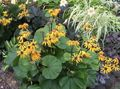 Buy online yellow Garden Flowers Bigleaf Ligularia, Leopard Plant, Golden Groundsel Photo
