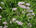 Photo Valerian, Garden Heliotrope description