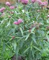 pink Garden Flowers Swamp milkweed, Maypops, Rose Milkweed, Red Milkweed / Asclepias incarnata Photo