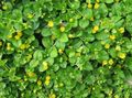 Buy online yellow Garden Flowers Moneywort, Creeping jenny / Lysimachia nummularia Photo