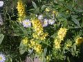 yellow Garden Flowers Yellow Loosestrife / Lysimachia punctata Photo