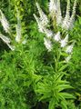 white Garden Flowers Culver's Root, Bowman's Root, Black Root / Veronicastrum virginicum Photo
